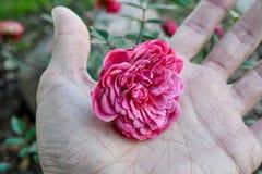 Een stralende roze bloem wordt gehouden in de palm van een menselijke hand stock afbeelding