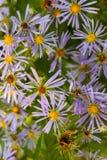 Een struik die met purpere bloemen overlopen Royalty-vrije Stock Foto