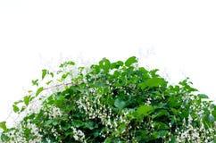 Een struik met groene bladeren tegen een witte hemel royalty-vrije stock afbeeldingen