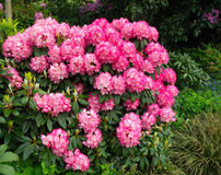 Een struik met rode rododendrons Stock Afbeeldingen