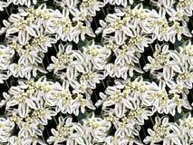 Een struik met witte bladeren en gele bloemen Stock Afbeelding