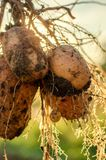 Een struik van jonge verse aardappels Royalty-vrije Stock Fotografie