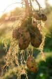 Een struik van jonge verse aardappels Stock Fotografie
