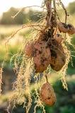 Een struik van jonge verse aardappels Stock Foto
