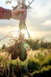 Een struik van jonge verse aardappels Stock Afbeeldingen