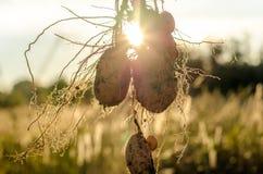 Een struik van jonge verse aardappels Stock Afbeelding
