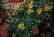 Een struik van madeliefjes in een de lentetuin royalty-vrije stock fotografie