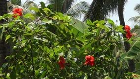 Een struik van rode hibiscus stock videobeelden