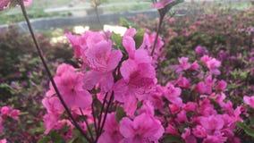 Een struik van roze bloemen in de tuin in de loop van de dag stock videobeelden