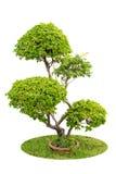 Een struik van sierplanten van bougainvillea die over whit worden geïsoleerd Stock Foto's