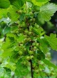 Een struik van een zwarte bes met nog niet gerijpte groene bessen In de tuin stock foto's