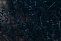 Een struik van zwarte doornen met bessen bij nacht Donkere Enge Achtergrond stock afbeeldingen