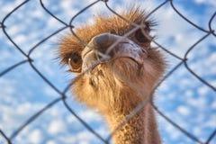 Een struisvogel met grote ogen kijkt door de rooster stock foto