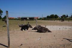 Een Struisvogellandbouwbedrijf Stock Foto