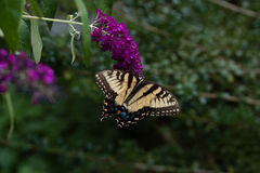Een Swallowtail op een Vlinder Bush Royalty-vrije Stock Foto's