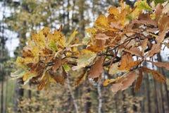 Een tak met de herfst eiken bladeren stock foto