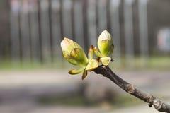Een tak met ontluikende bladeren in de lente Royalty-vrije Stock Foto