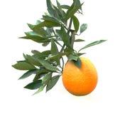 Een tak met sinaasappel Stock Afbeelding