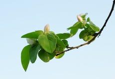 Een tak van appel Stock Afbeelding