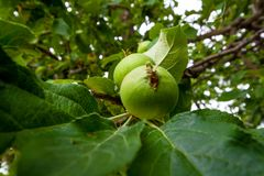 Een tak van appelbomen met groene bladeren en kleine het groeien appelen Sluit omhoog mening stock afbeelding
