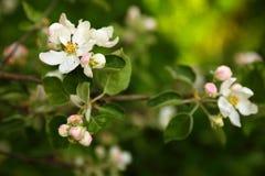 Een tak van een appelboom met witte bloemen en knoppen, in boomgaarden royalty-vrije stock fotografie