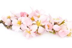 Een tak van bloeiende amandelen. Royalty-vrije Stock Fotografie