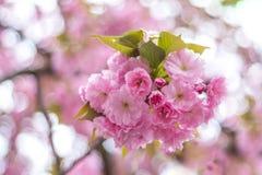 Een tak van bloeiende sakurabloesem, Japanse kers, op een bokeh Stock Afbeeldingen