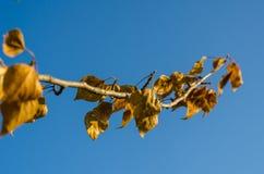 Een tak van een boom met gele bladen tegen de achtergrond van heldere blauwe hemel Selectieve nadruk blur stock afbeeldingen