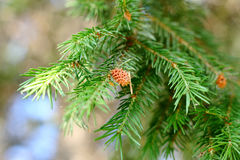 Een tak van ceder met kegels Stock Foto