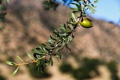 Een tak van de olijfboom Stock Afbeelding