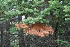 Een tak van de pijnboomboom half levend en half dood in een bos Stock Afbeelding