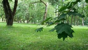 Een tak van een esdoornboom met bladeren die van de wind in het park golven stock videobeelden