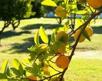 Een tak van een groene citroenboom stock foto