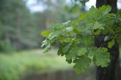 Een tak van een eiken boom met bladeren royalty-vrije stock afbeelding
