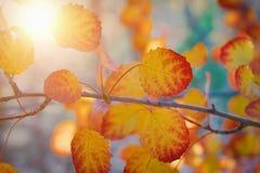 Een tak van esp met vergeelde bladeren op een zonnige dag stock afbeelding