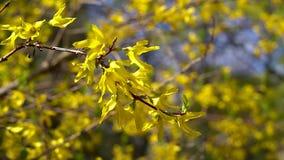 Een tak van Forsythia met kleine gele bloemen fladdert in lichte de lentewind op een heldere Zonnige dag stock videobeelden