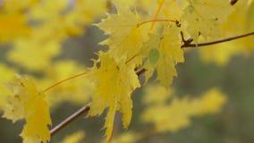 Een tak van gele bladeren stock videobeelden