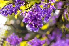 Een tak van Grote Boom en gevuld met Violet Flowers royalty-vrije stock fotografie