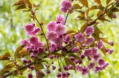 Een tak van het tot bloei komen roze sakura op de achtergrond van jong gebladerte royalty-vrije stock afbeelding