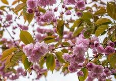 Een tak van het tot bloei komen roze sakura tegen de hemel royalty-vrije stock foto