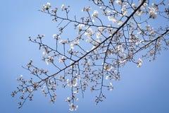 Een Tak van Japans Cherry Blossoms Royalty-vrije Stock Foto's