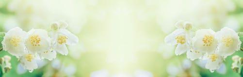Een tak van jasmijn bloeit met regendruppels in het zachte ochtendzonlicht royalty-vrije stock afbeelding