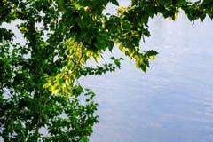 Een tak van een jonge boom, groene bladeren slingering in de wind De zomer Op de achtergrond van de rivier royalty-vrije stock afbeeldingen