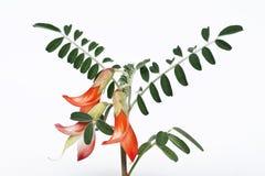 Een tak van kankerstruik van Sutherlandia frutescens royalty-vrije stock afbeeldingen