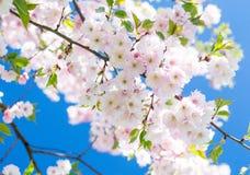 Een tak van kers komt tegen hemel tot bloei royalty-vrije stock afbeelding