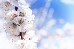 Een tak van kersenbloesems Bloeiende abrikoos op een zonnige dag, kersenbloesems in de lente Sluit omhoog bloemen Sakura tegen he royalty-vrije stock afbeeldingen