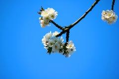 Een tak van een kersenboom bloeit in de lente Bloeiende tak van een boom tegen de blauwe hemel royalty-vrije stock fotografie