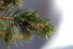Een tak van een naaldboomclose-up, macro Stock Foto's