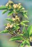 Een tak van peer met knoppenbloemen springt zonnige dag op royalty-vrije stock foto's