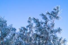 Een tak van pijnboom die met rijp op een blauwe achtergrond wordt behandeld stock foto's